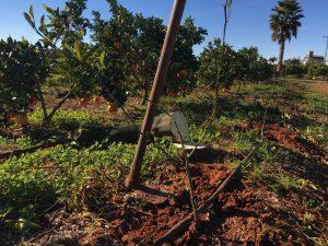 plantando naranjos